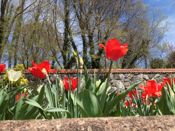 Biltmore tulips 2
