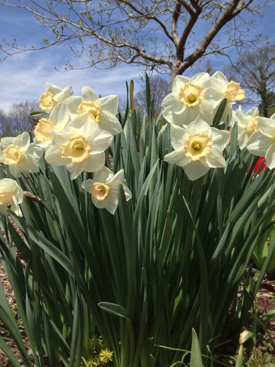 Biltmore daffodils