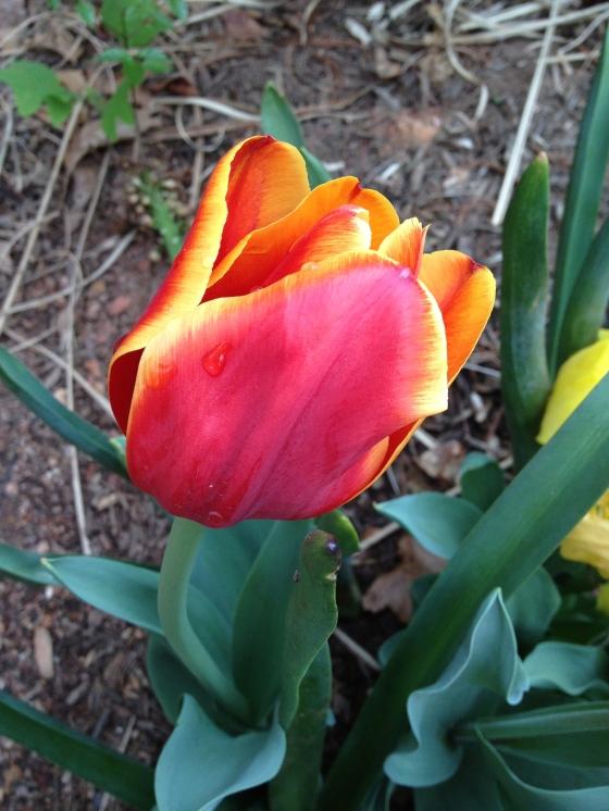 Home tulip